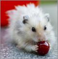 weisser hamster